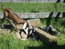 Just hanging out in the pen, Marc, Vevey, Daisy,Violet, Lilly