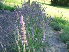 lavender 30
